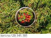 Camp kettle with brewed peppermint leaves and hips of wild rose stands on the grass on a sunny day, a top view. Стоковое фото, фотограф Евгений Харитонов / Фотобанк Лори