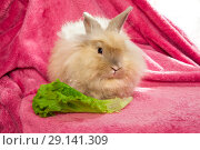 Купить «Red fluffy rabbit with lettuce leaf», фото № 29141309, снято 23 сентября 2018 г. (c) Юлия Кузнецова / Фотобанк Лори