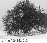 Купить «Single leafless tree in winter fog on white snow background», фото № 29142613, снято 24 января 2018 г. (c) Николай Коржов / Фотобанк Лори