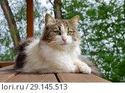 Купить «Портрет длинношерстной кошки на улице», фото № 29145513, снято 28 июля 2018 г. (c) Елена Коромыслова / Фотобанк Лори