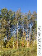 Купить «Forest with aspens», фото № 29148345, снято 29 сентября 2018 г. (c) Argument / Фотобанк Лори