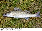 Купить «Пресноводная рыба судак», фото № 29149701, снято 28 сентября 2018 г. (c) Круглов Олег / Фотобанк Лори