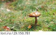 Купить «brown cap boletus or mushroom in autumn forest», видеоролик № 29150781, снято 24 сентября 2018 г. (c) Syda Productions / Фотобанк Лори