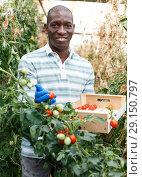 Купить «Happy farmer gathering in crops of tomatoes», фото № 29150797, снято 16 августа 2018 г. (c) Яков Филимонов / Фотобанк Лори