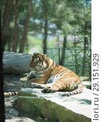 Купить «Tiger at the zoo», фото № 29151929, снято 24 апреля 2018 г. (c) Типляшина Евгения / Фотобанк Лори