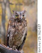 Купить «Eurasian (European) scops owl owl in autumn forest», фото № 29162637, снято 21 сентября 2018 г. (c) Алексей Кузнецов / Фотобанк Лори
