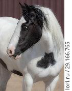 Купить «Портрет лошади породы Ирландский тинкер», фото № 29166765, снято 18 августа 2018 г. (c) Абрамова Ксения / Фотобанк Лори