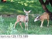 Two mule fawn goes under the trees. Capitol Reef National Park, Utah, USA (2014 год). Стоковое фото, фотограф Ирина Кожемякина / Фотобанк Лори