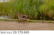 Купить «wild duck walking along wooden berth», видеоролик № 29179669, снято 28 сентября 2018 г. (c) Syda Productions / Фотобанк Лори