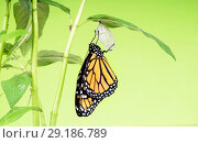 Купить «Monarch butterflie (Danaus plexippus) gets out of the cocoon and dries its wings. The butterfly pupa was riveted to the leaf of the plant - Asclepias curassavica.», фото № 29186789, снято 3 октября 2018 г. (c) Ирина Кожемякина / Фотобанк Лори