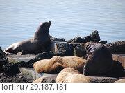 Купить «Северные морские львы -сивучи (лат. Eumetopias jubatus). Авачинская бухта, полуостров Камчатка», эксклюзивное фото № 29187181, снято 21 сентября 2018 г. (c) syngach / Фотобанк Лори