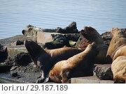 Купить «Северные морские львы -сивучи (лат. Eumetopias jubatus). Авачинская бухта, полуостров Камчатка», эксклюзивное фото № 29187189, снято 21 сентября 2018 г. (c) syngach / Фотобанк Лори