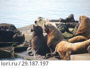 Купить «Северные морские львы -сивучи (лат. Eumetopias jubatus). Авачинская бухта, полуостров Камчатка», эксклюзивное фото № 29187197, снято 21 сентября 2018 г. (c) syngach / Фотобанк Лори