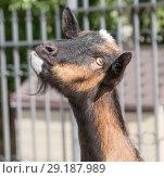 Купить «Портрет заинтересованной козы. Крупный план», фото № 29187989, снято 26 сентября 2018 г. (c) Наталья Николаева / Фотобанк Лори