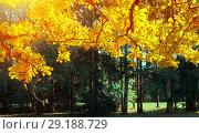 Купить «Fall leaves background -oak tree branch with orange foliage lit by sunshine, sunny fall landscape in bright sunlight», фото № 29188729, снято 21 сентября 2017 г. (c) Зезелина Марина / Фотобанк Лори