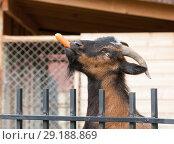 Купить «Козел с морковкой во рту, крупный план», фото № 29188869, снято 26 сентября 2018 г. (c) Наталья Николаева / Фотобанк Лори