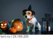 Купить «Dogl in costume for Halloween», фото № 29189205, снято 30 сентября 2018 г. (c) Типляшина Евгения / Фотобанк Лори