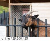 Купить «Портрет задумчивого козла, положившего голову на ограду своей клетки», фото № 29200425, снято 26 сентября 2018 г. (c) Наталья Николаева / Фотобанк Лори