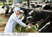Купить «Young woman feeding cows with grass at cowhouse», фото № 29200977, снято 30 марта 2020 г. (c) Яков Филимонов / Фотобанк Лори
