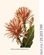 Купить «Phyllocactus hibridns Gordonianus Hort.», фото № 29203749, снято 16 января 2019 г. (c) age Fotostock / Фотобанк Лори