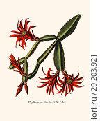 Купить «Phyllocactus Gaertneri K. Sch.», фото № 29203921, снято 16 января 2019 г. (c) age Fotostock / Фотобанк Лори