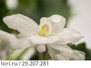 Купить «White flower with water droplets», фото № 29207281, снято 18 сентября 2018 г. (c) Валерий Смирнов / Фотобанк Лори