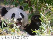 Купить «Гигантская панда», фото № 29215077, снято 17 сентября 2018 г. (c) Stockphoto / Фотобанк Лори