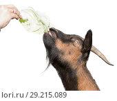 Купить «Козел, вытянув шею, тянется к листу капусты. На белом фоне, изолировано, крупный план», фото № 29215089, снято 26 сентября 2018 г. (c) Наталья Николаева / Фотобанк Лори