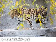 Дальневосточный леопард, или амурский леопард. Стоковое фото, фотограф Галина Савина / Фотобанк Лори