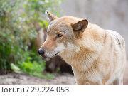 Купить «Европейский волк. Grey wolf», фото № 29224053, снято 21 января 2016 г. (c) Галина Савина / Фотобанк Лори