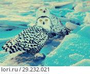 Snowy Owl at ice area. Стоковое фото, фотограф Яков Филимонов / Фотобанк Лори