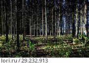 Купить «Хвойный лес освещённый вечерним солнцем», эксклюзивное фото № 29232913, снято 12 октября 2018 г. (c) Игорь Низов / Фотобанк Лори