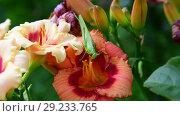 green grasshopper eats pollen on flowers of lily. Стоковое видео, видеограф Володина Ольга / Фотобанк Лори