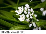 Купить «Small white delicate Allium flowers.», фото № 29235481, снято 20 апреля 2017 г. (c) easy Fotostock / Фотобанк Лори