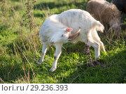 Купить «goats on the field», фото № 29236393, снято 4 октября 2018 г. (c) Типляшина Евгения / Фотобанк Лори