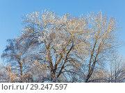 Купить «Trees with snow», фото № 29247597, снято 19 января 2010 г. (c) Argument / Фотобанк Лори