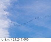 Купить «Large flock of geese», фото № 29247605, снято 16 октября 2018 г. (c) Argument / Фотобанк Лори