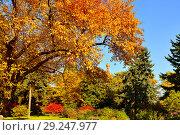 Купить «Bright golden autumn in Kremlin garden. Moscow, Russia», фото № 29247977, снято 15 октября 2018 г. (c) Валерия Попова / Фотобанк Лори