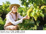 Купить «Woman picking white grapes in vineyard», фото № 29248233, снято 13 сентября 2018 г. (c) Яков Филимонов / Фотобанк Лори