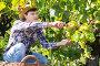 Купить «Male farmer harvesting white grapes», фото № 29248237, снято 13 сентября 2018 г. (c) Яков Филимонов / Фотобанк Лори