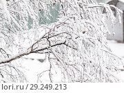Купить «Branches of a birch under a thick layer of snow, close-up», фото № 29249213, снято 10 февраля 2018 г. (c) Tetiana Chugunova / Фотобанк Лори
