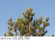 Купить «Branches of flowering», фото № 29255705, снято 5 июня 2012 г. (c) Argument / Фотобанк Лори