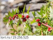 Купить «Марь многолистная (Blítum virgátum), спелые плоды», фото № 29256525, снято 28 сентября 2018 г. (c) Юлия Бабкина / Фотобанк Лори