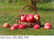 Яблоки в корзине. Стоковое фото, фотограф Целоусов Дмитрий Геннадьевич / Фотобанк Лори