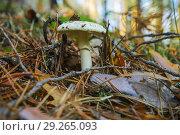 Купить «Бледная поганка (Amanita falloides) смертельною ядовитый гриб. Хвойный лес. Октябрь», фото № 29265093, снято 16 октября 2018 г. (c) Александр Романов / Фотобанк Лори