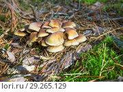Купить «Опята растут в октябре в сосновом лесу», фото № 29265129, снято 16 октября 2018 г. (c) Александр Романов / Фотобанк Лори