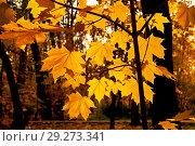 Купить «Оранжевые, желтые листья клена на ветке. Осень.», фото № 29273341, снято 19 октября 2018 г. (c) Татьяна Федулова / Фотобанк Лори