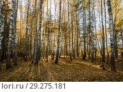 Купить «Осенний пейзаж. Берёзовый лес», эксклюзивное фото № 29275181, снято 15 октября 2018 г. (c) Игорь Низов / Фотобанк Лори