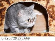 Купить «A domestic cat of British breed in your favorite house.», фото № 29275669, снято 24 января 2016 г. (c) Акиньшин Владимир / Фотобанк Лори