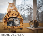 Купить «Three friendly cats lie on the veranda, an American shorthair cat, a cat of the British breed and a Russian Siberian cat.», фото № 29275677, снято 14 марта 2016 г. (c) Акиньшин Владимир / Фотобанк Лори